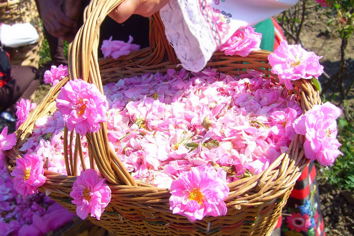 picking-roses-tour-in-kazanlak-rose-festival